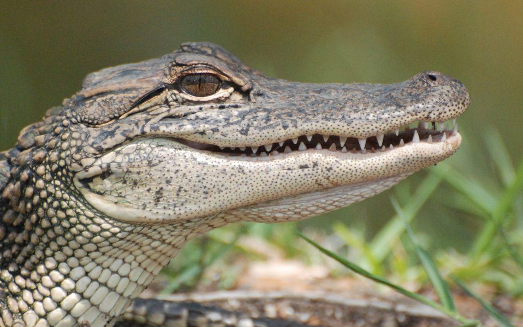 APG 328 – See Ya' Later, Alligator!